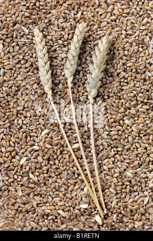 Wheat, ears and grain (Triticum aestivum) - Stock Photo