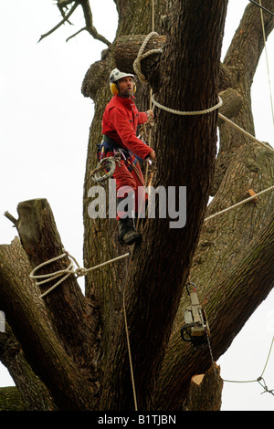 Tree surgeon climbing between branches wearing full safety equipment - Stock Photo