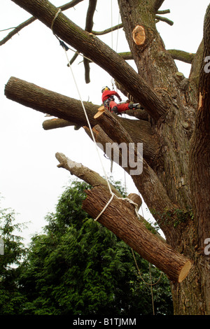 Tree surgeon climbing between branches wearing full safety equipment lowers a large section of tree trunck - Stock Photo