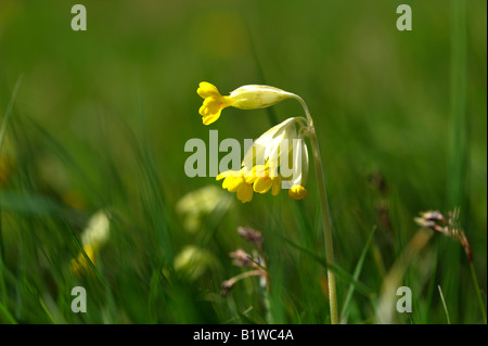 Cowslip a wild flower and member of the Primrose family - Stock Photo