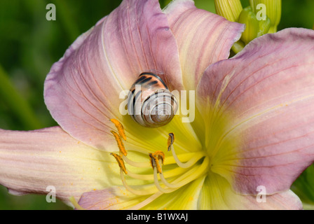 A highly coloured form of a dark lipped banded snail Cepaea nemoralis on a day lily flower - Stock Photo
