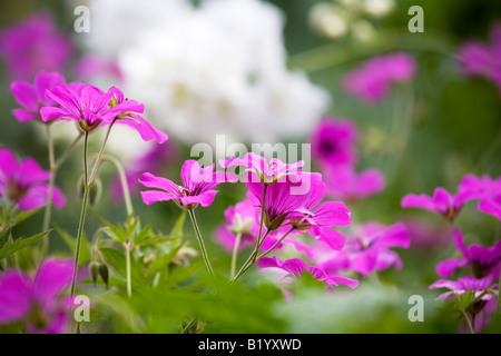 The magenta flowers of Geranium psilostemon stand out in a mixed border in June - Stock Photo