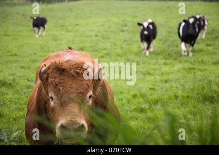 Bulls staring at a visitor, Wales, UK - Stock Photo