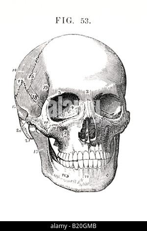 ILLUSTRATION HUMAN SKULL BONES OF HEAD - Stock Photo