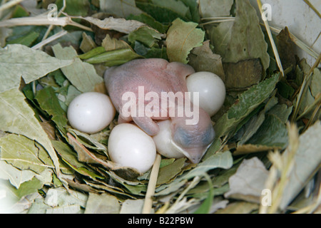 Purple Martin Nest with Hatchling and Four Eggs - Stock Photo