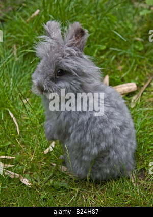 Grey Lionhead Rabbit, showing a long-hair reversion back to it's Angora ancestry - Stock Photo