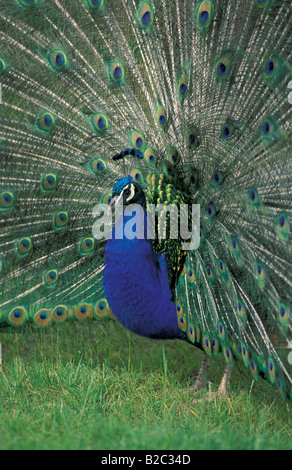Indian or Common Peafowl (Pavo cristatus), adult male or peacock - Stock Photo