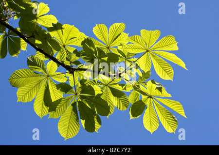 Horse Chestnut (Aesculus hippocastanum) leaves sprouting, spring - Stock Photo