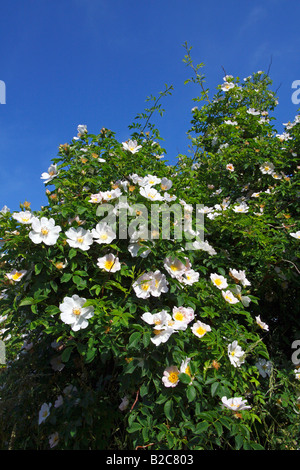 Blooming Dog Rose, Common Briar (Rosa canina), wild, scented rose - Stock Photo