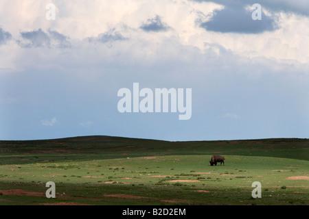 American Bison, Wind Cave National Park, South Dakota - Stock Photo