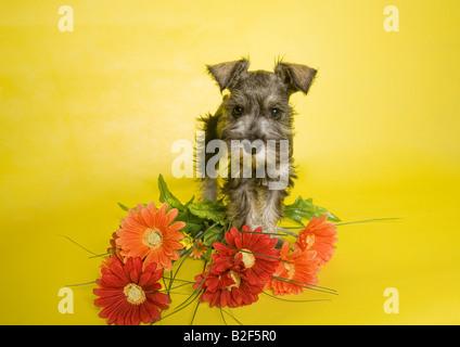 Adorable Miniature Schnauzer puppy on yellow background with orange Gerbera flowers - Stock Photo