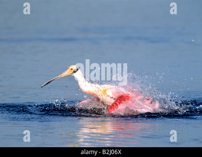 Roseate Spoonbill Rosaloeffler Bath ajaia ajaja Florida USA Loeffler spoonbills bird birds - Stock Photo