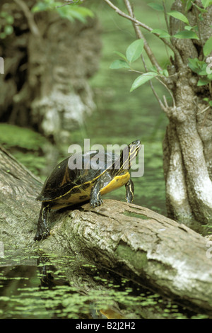 zoology / animals, reptiles, turtles, Redbelly turtle, (Pseudemys rubriventris), sitting on tree trunk, distribution: - Stock Photo
