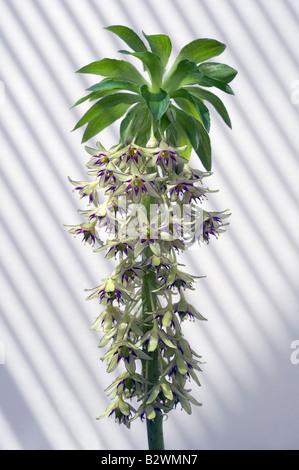 A Eucomis Bicolour in flower - Stock Photo