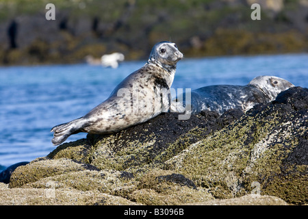 Adult grey seals (Halichoerus grypus) resting on rocks off Isle of May, Firth of Forth, Scotland - Stock Photo