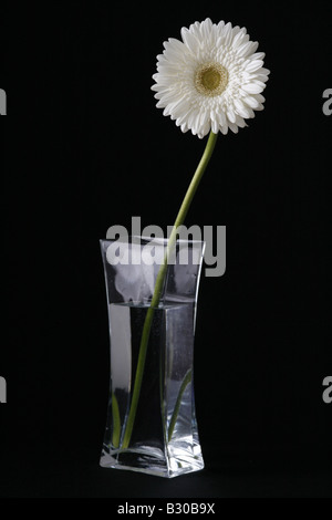 White Gerbera flower in a glass vase against a black background - Stock Photo