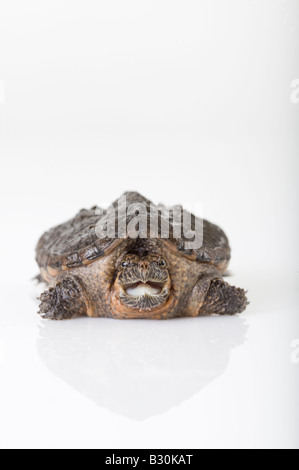 Young small snapping turtle chelydra serpentina in studio white background - Stock Photo