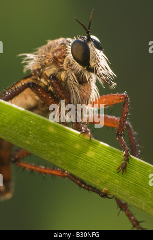 Robber Fly, diptera, on blade of grass - Stock Photo