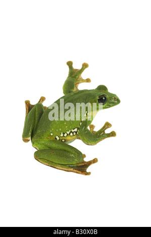 Rhacophorus dennysi, Blanford's whipping frog, asian gliding tree frog, asian gliding treefrog - Stock Photo