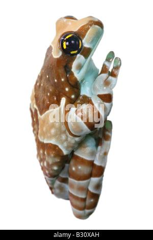 Phrynohyas resinifictrix, Amazonian canopy frog - Stock Photo