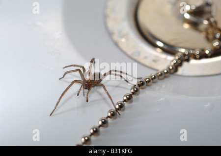 Spider in the bath, 'house spider' by plug in bath - Stock Photo