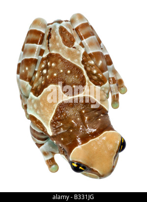 Phrynohyas resinifictrix, Amazonian canopy frog - Stock Photo