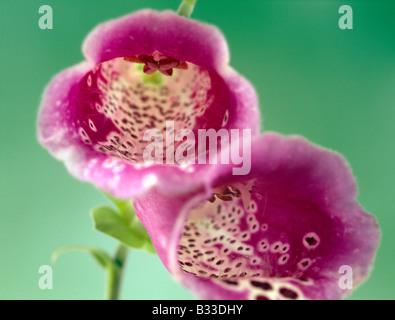Foxglove, Digitalis purpurea. - Stock Photo