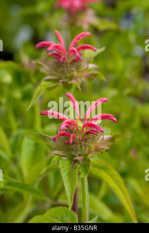 Bee-Balm plant and flowers - Stock Photo