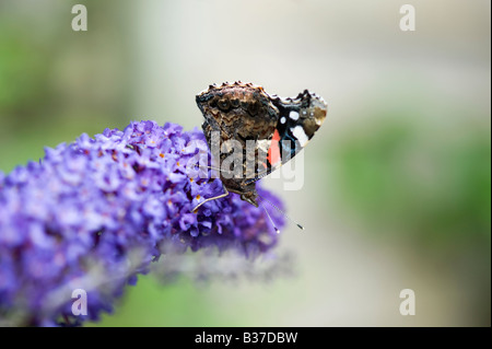 Red Admiral butterfly on buddleja in an English garden. UK - Stock Photo