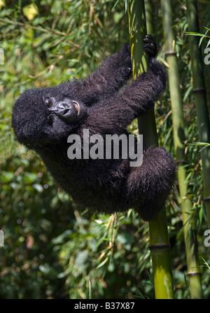 A baby MOUNTAIN GORILLA Gorilla beringei beringei climbs bamboo in PARK NATIONAL DE VOLCANS or VOLCANOES NATIONAL - Stock Photo