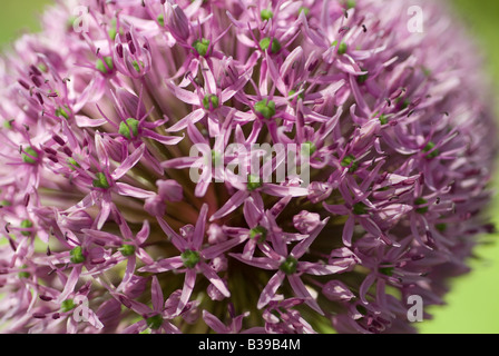 flower flowering Allium pink globe blossom - Stock Photo