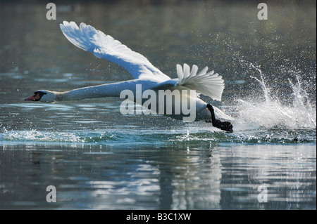 Mute Swan Cygnus olor adult taking off Lake of Zug Switzerland - Stock Photo