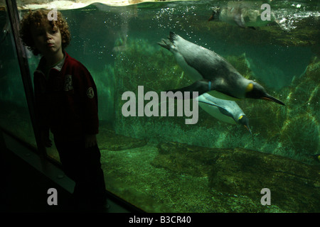 Young boy examining King Penguins (Aptenodytes patagonicus) at Schonbrunn Zoo in Vienna, Austria - Stock Photo