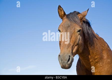 Africa, Namibia, Wild horse, portrait, close-up - Stock Photo