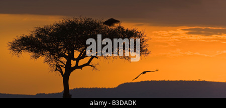 Orange red sunset panorama African Fish Eagles soaring in silhouette beside 1 tall acacia tree and mountain Masai - Stock Photo