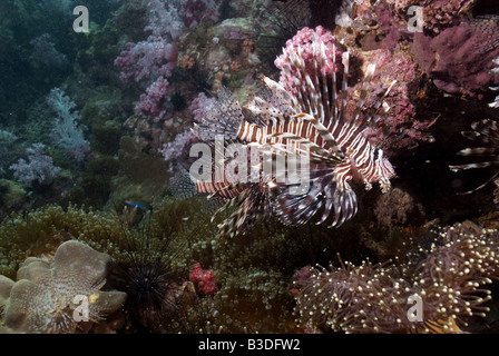 Lionfish on coral reef under water - Stock Photo