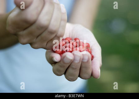 Red berry like arils of the Common yew tree Taxus baccata - Stock Photo