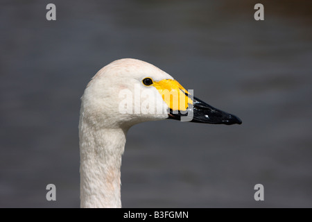 Bewick's Swan, Cygnus columbianus bewickii - Stock Photo