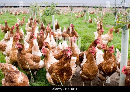 Freerange chicken chickens hen hens poultry free range eggs farming farmer farm bird birds food production shed - Stock Photo