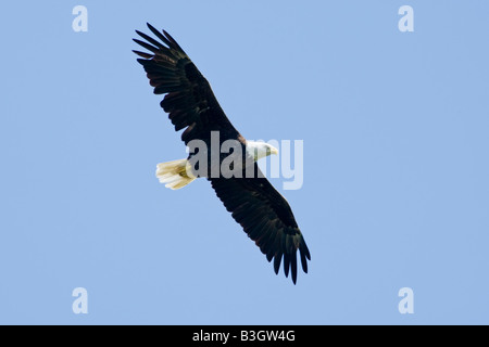An adult american Bald Eagle in flight over lake Kissimmee florida USA - Stock Photo
