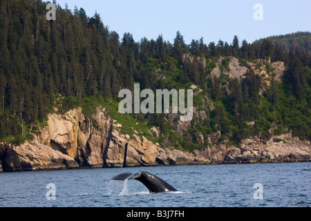 Humpback whale Kenai Fjords National Park near Seward Alaska - Stock Photo
