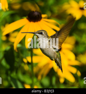 A Ruby-Throated Hummingbird hovers in front of some Black Eyed Susans. - Stock Photo