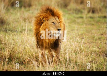 African Lion Panthera leo male Masai Mara Kenya Africa - Stock Photo