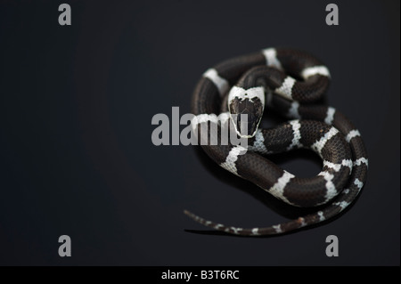 Lycodon septentrionalis. Juvenile White-Banded Wolf Snake on dark background - Stock Photo