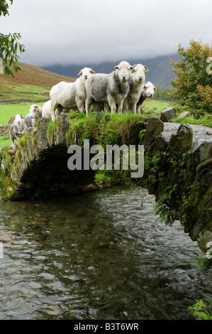 Shepherd bringing herdwick sheep over old pack horse bridge Wasdale English Lake District - Stock Photo