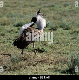 Tanzania, Ngorongoro Conservation Area, Ndutu. A male Kori bustard displays to its mate. In so doing, it inflates - Stock Photo