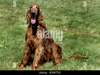 Irish Setter sitting on grass - Stock Photo