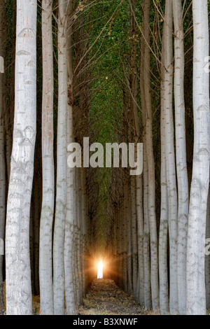 Pacific Albus trees Morrow County Oregon - Stock Photo