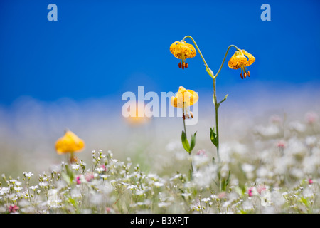 Tiger or Columbian lily lilium columbianum Hurricane Ridge Olympic National Park Washington - Stock Photo