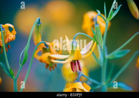 Tiger or Columbian lily lilium columbianum Hurricane Ridge Olympic National Park Washington - Stock Photo